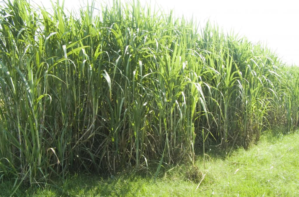 A modern, color photograph of a large patch of tall, green sugar cane plants.
