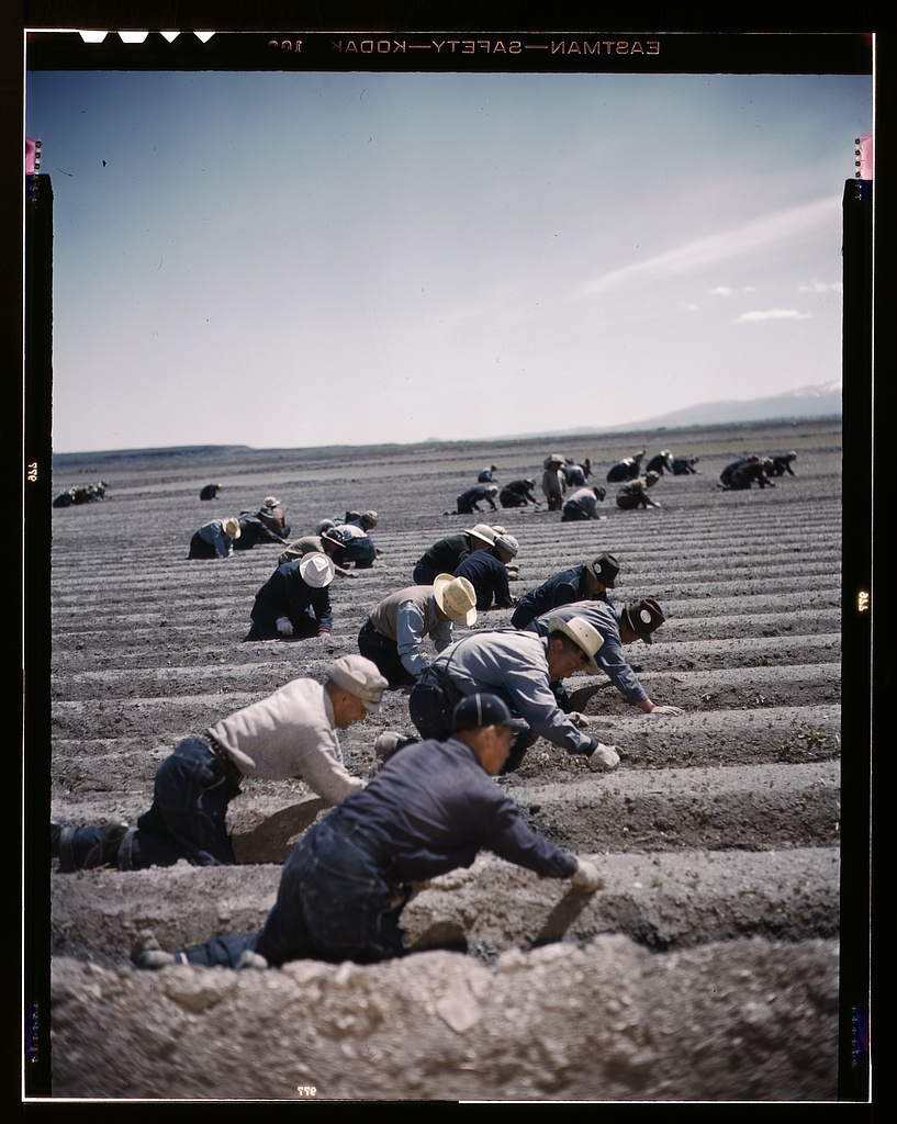 A transparency of a photograph of about 40 men bent over, working in rows of crops. The workers are wearing brimmed hats and long sleeve button down shirts. There are low mountains and a few small clouds in the distance.